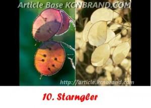 Starngler | Article Base KCNBRAND.COM
