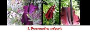 Dracunculus Vulgaris | Article Base KCNBRAND.COM