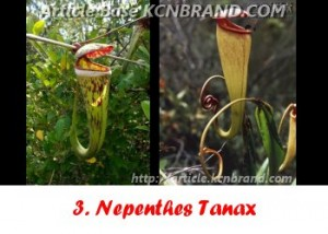 Nepenthes Tanax | Article Base KCNBRAND.COM